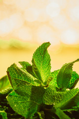leaves of mint on green background