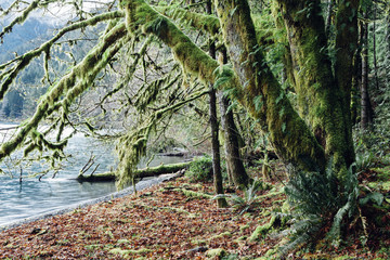 Lush temperate rainforest along the shores of Lake Crescent, mature trees with lichen covered branches reaching towards the light and the water.