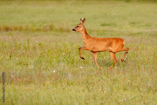 Fotobehang Ree Roe deer running along the meadow