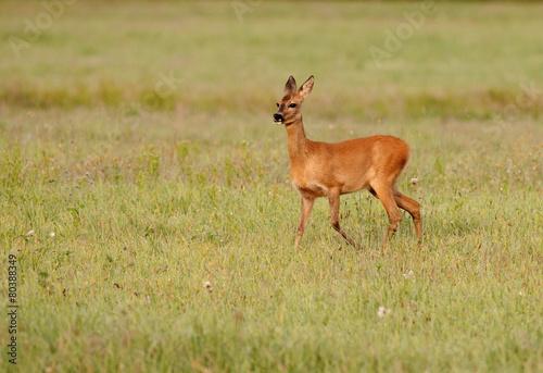 Fotobehang Ree Roe deer grazing on the meadow