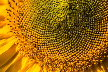 Macro. beautiful warm sunflower close