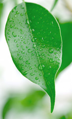 Green leaf with water droplets,Closeup