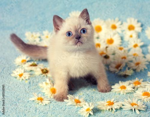 Cute little siamese kitten on chamomile flowers - 80388981