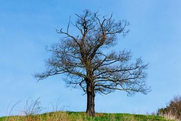 lone dead tree in spring