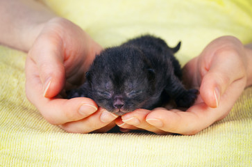 Black newborn kitten in female hands