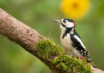 Adult male of the great spotted woodpecker