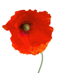 red poppy flower on a white background