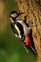 Adult female the great spotted woodpecker