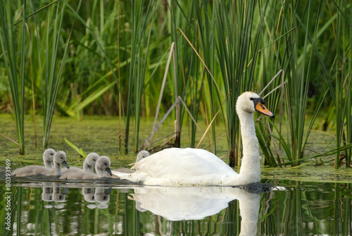 Female mute swan with chicks