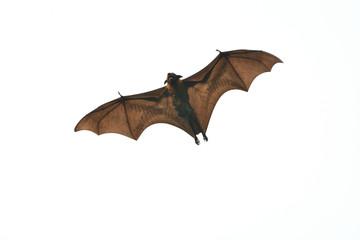 Mammal Bat flying with juvinile bat on white background