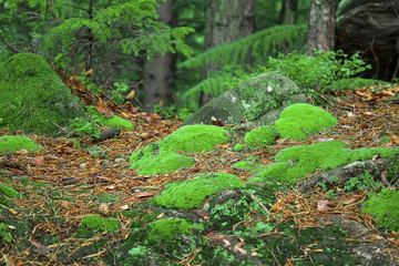 green moss among the needles in a pine forest