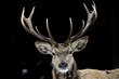 Deer on the black background - 80396324