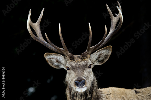 Poster Hert Deer on the black background
