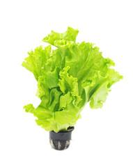 Lettuce in pot.