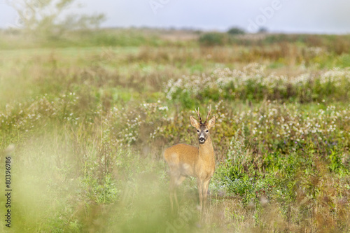 Foto op Canvas Ree Roe deer buck