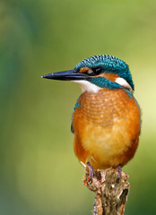 Common Kingfisher on the hunting position, vertical close.
