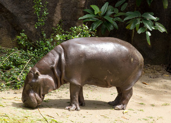 hippopotamus in nature