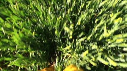 male legs with waterproof yellow trousers walk crop field POV