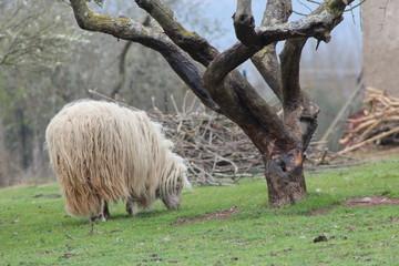 pecora nella fattoria