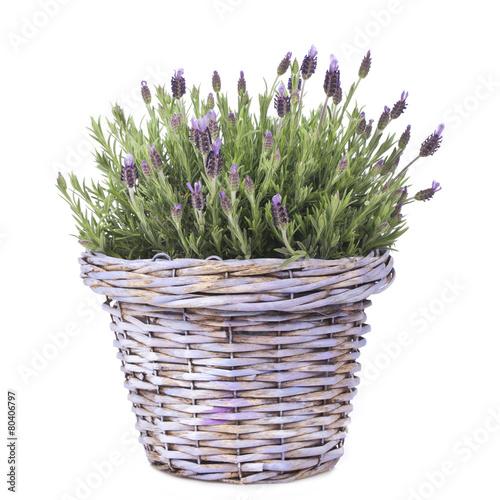 Lavendel in lila Körbchen isoliert