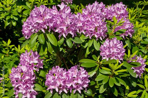 Foto op Plexiglas Azalea Rhododendron