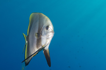 bat fish portrait