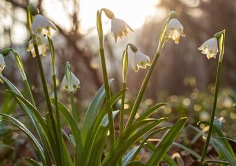 Frühlingsknotenblumen im Gegenlicht