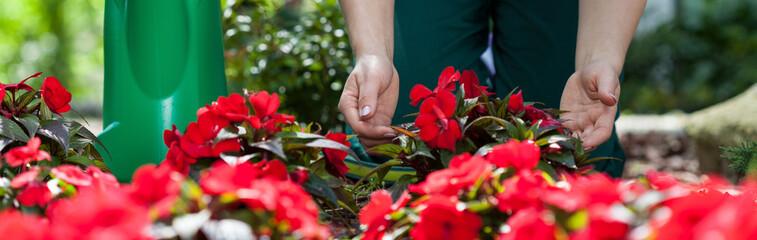 Gardener caring of flowers