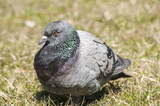 Rock feral pigeon dove closeup resting on winter grass meadow poster