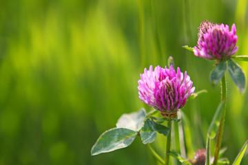Pink cosmea flowers .