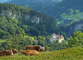Cows on Feldkirch meadows, Vorarlberg in Austria