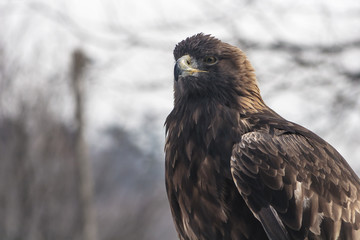 golden eagle staring