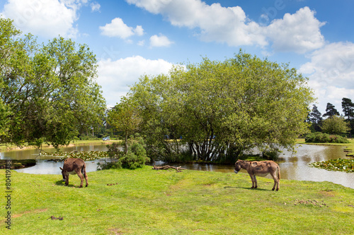 Poster Ezel Donkies New Forest Hampshire England UK by lake summer