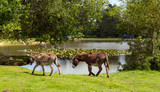 New Forest donkies by lake Hampshire England UK summer