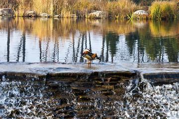 ducks on an autumn pond with cascades