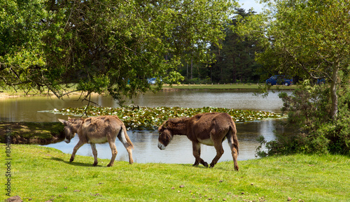 Poster Ezel New Forest donkies by lake Hampshire England UK summer