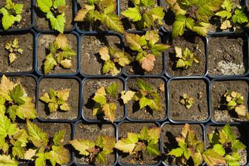 Seedlings on the vegetable tray