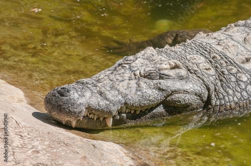 Foto op Plexiglas Krokodil Nile crocodile sleeping