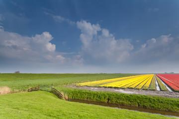 Dutch farmland with tulip field