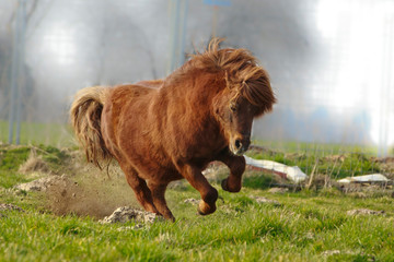 Wildes Shetlandpony