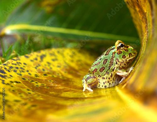 Poster Kikker frog pacman(ceratophrys ornata)