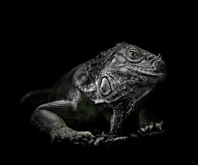 Grüner Leguan vor schwarzem Hintergrund