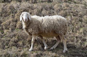 pecora lana