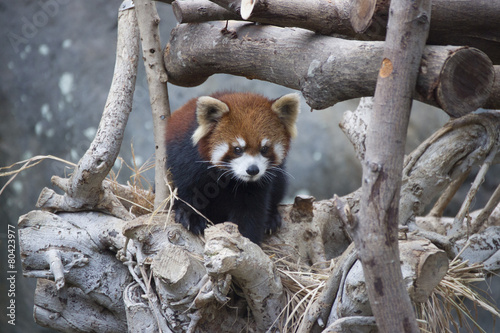 Deurstickers Panda Red panda walking on the tree