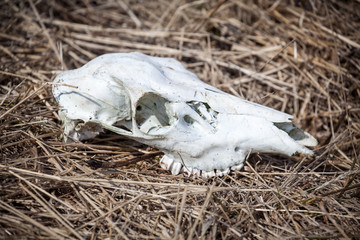Skull of deer