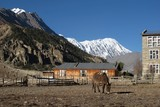 Grazing mule in Manang, distant view of Tilicho Peak