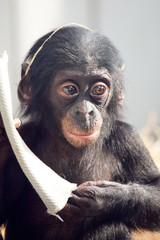 Lüstige schimpanse baby