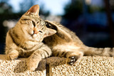 Cute tabby kitten lying on the wall and scratching its head.