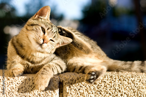 In de dag Kat Cute tabby kitten lying on the wall and scratching its head.
