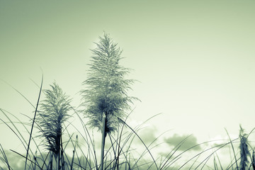 Retro image pampas grass, old faded effect
